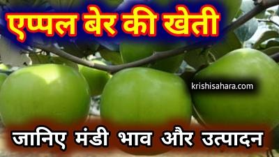 एप्पल-बेर-की-खेती बेर की उन्नत किस्में   कश्मीरी एप्पल बेर की खेती   kashmiri apple ber ki kheti   एप्पल की खेती   एप्पल बेर की नर्सरी   एप्पल बेर की ग्राफ्टिंग   एप्पल बेर नर्सरी   एप्पल बेर की कटाई   apple ber ki kheti