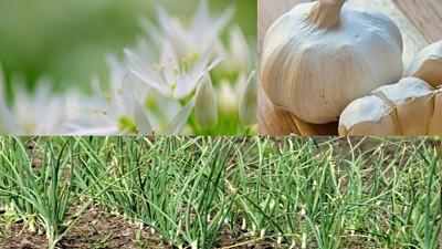 लहसुन-की-खेती