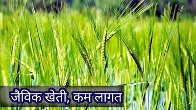 गेहूं-की-खेती-कैसे-करें