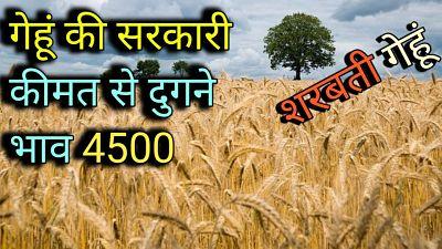 शरबती-गेहूं-भाव-2021